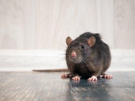 Rodent Awareness Week 2020