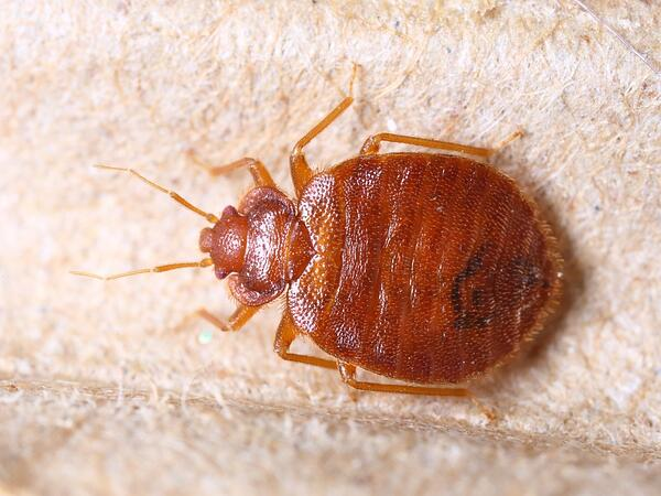 how to properly inspect for bed bugs