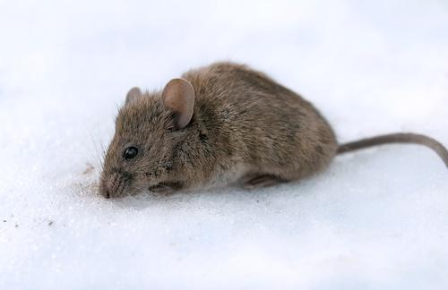 mice in winter
