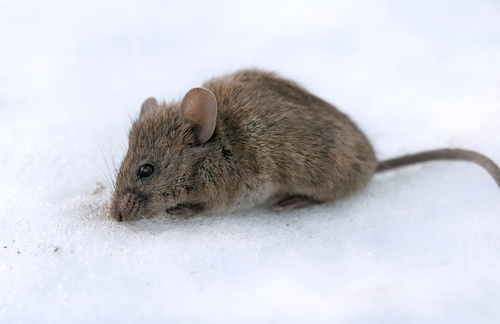 mice in winter