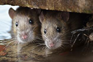 Rodents & Human Health Hazards