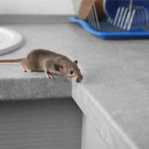 What you should know about mice in Scituate, MA