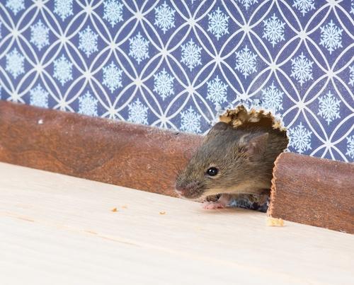 massachusetts rodent control