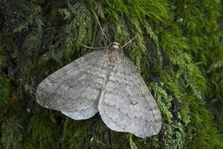 gypsy moth caterpillars massachusetts