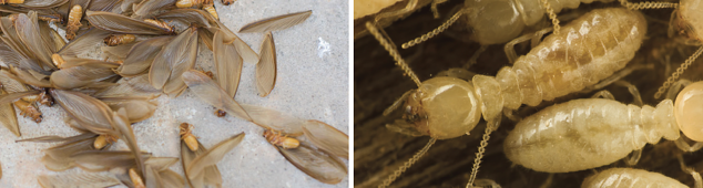 Termite Myths Debunked
